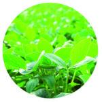 Hojas de soja