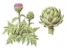 Ilustración alcachofera