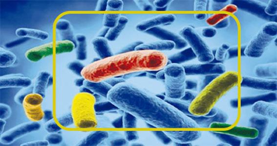 Fermentos probioticos